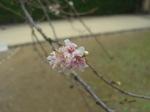 姫路城 桜.jpg